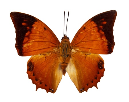 rajah: The Tawny Rajah butterfly. Isolated over white