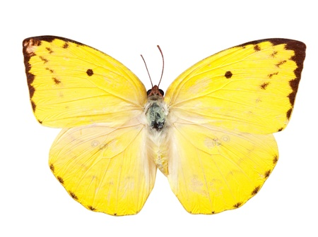 emigrant: The Lemon Emigrant butterfly. Isolated over white