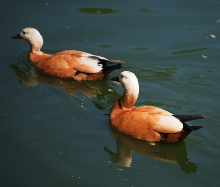 Wild duckes swimming at pond in summer Stock Photo - 8334102