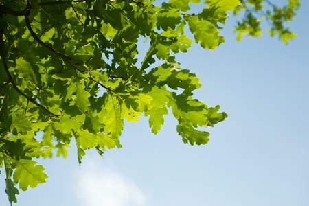 Closeup of green oak leaves, brightly backlit against  sky