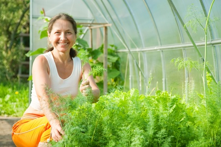 forcing bed: Senior woman is picking dill in the greenhouse