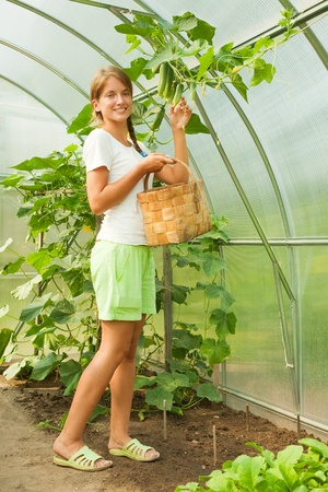 forcing bed: young girl is picking cucumber in the greenhouse Stock Photo