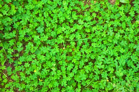 Fresh green clover plant.  Ireland background Stock Photo - 8692103