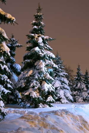 Spruce trees at winter park in late evening  photo