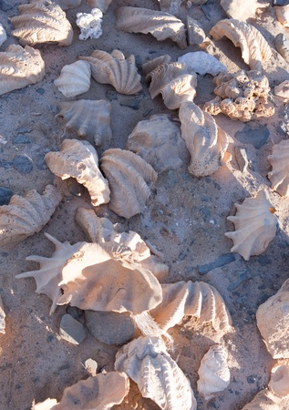 Background of old conch on sand at Red sea coast photo