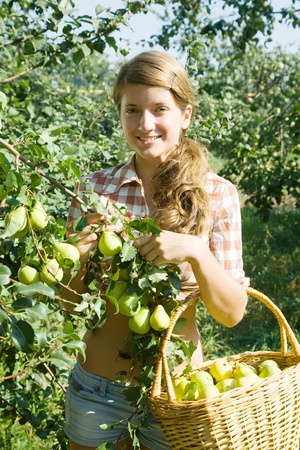 young girl is picking of peares in the orchard photo