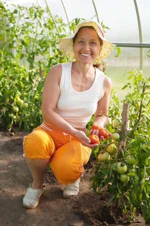 Senior woman is picking of tomato in the hothouse photo