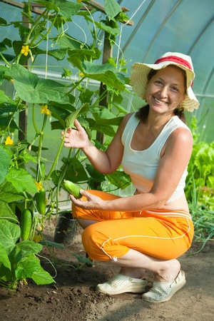 Senior woman is picking cucumber in the greenhouse photo