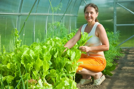 forcing bed: Senior woman is picking lettuce in the greenhouse
