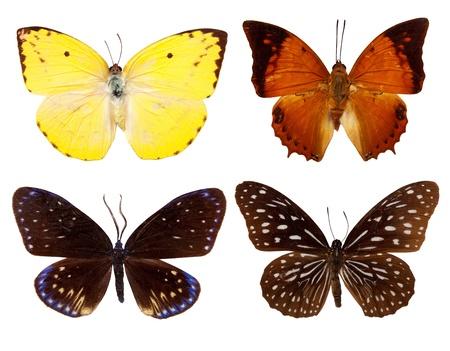 rajah: Conjunto de mariposas ex�ticas