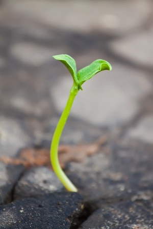 city living: Young sprout makes the way through asphalt on city road Stock Photo
