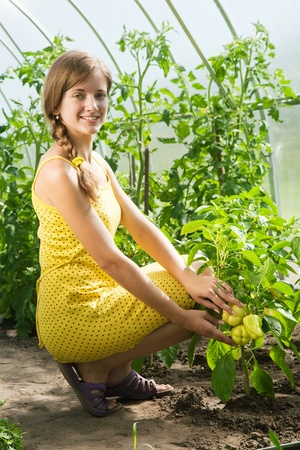 forcing bed: young girl is picking of green pepper in the hothouse Stock Photo