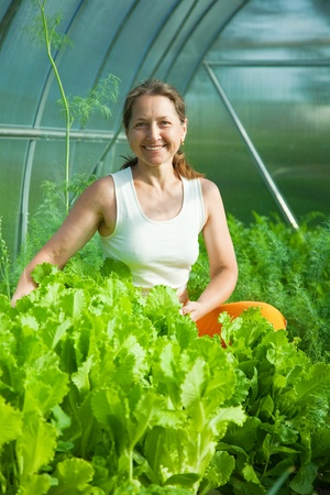 forcing bed: Smiling woman picking lettuce in the hothouse