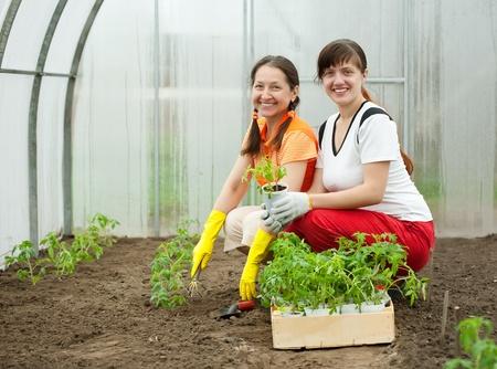 Two women planting tomato spouts in greenhouse photo