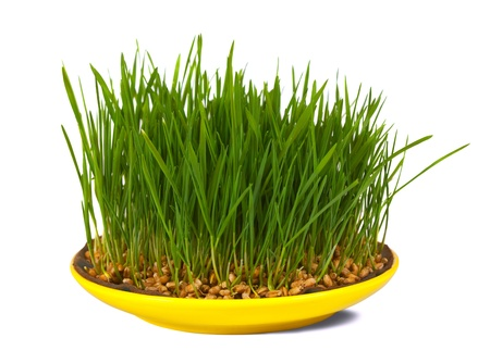 over grown: Grass of wheat grown in yellow plate. Isolated over white