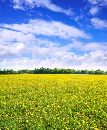 Summer landscape with dandelions on green meadow photo