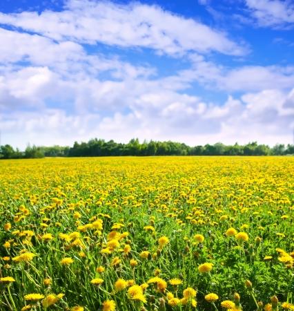 """Latem krajobraz z dandelions """"Meadow"""" w Letnich słoneczny dzień"""