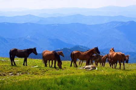 altai mountains: herd of horses on mountains meadow