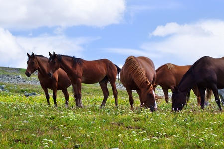 horses in the wild: herd of horses on mountains meadow