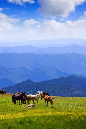 mustang horse: mountains landscape with  herd of horses. Altai, Siberia