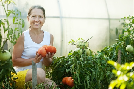 Mature woman picking tomato in greenhouse photo