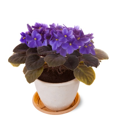 violet in decorated pot  on  white background photo
