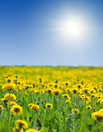 green field with  yellow dandelions under bly sky Stock Photo - 10412309