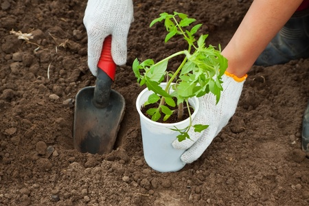 Gardener hands planting tomato seedling in ground Stock Photo - 10508189