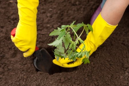 Gardener hands planting tomato seedling in ground photo