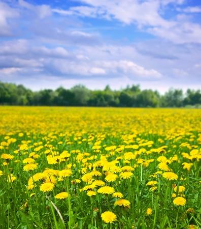 タンポポ草原の日当たりの良い夏の日と夏の風景