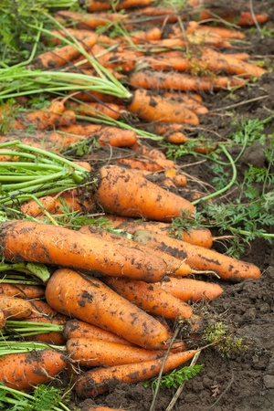 harvest of carrots in field Stock Photo - 10612905