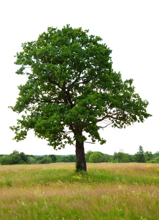 One oak tree on meadow, isolated over white background photo