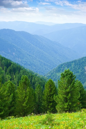 to altai: vertical  mountains landscape with cedar  forest.   Altai, Suberia