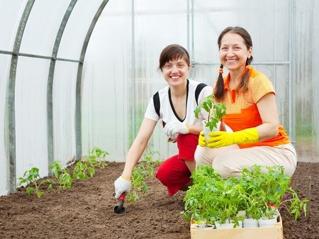 smiling woman in a greenhouse: Two women planting tomato seedlings in hothouse Stock Photo