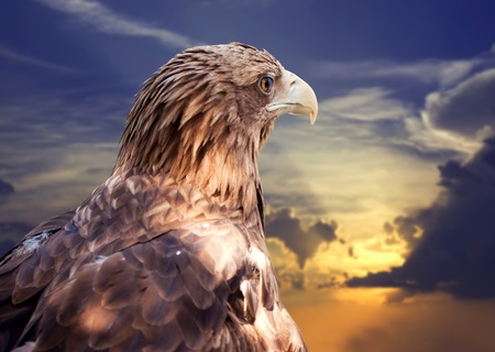 Head of white-tailed eagle against sunset sky