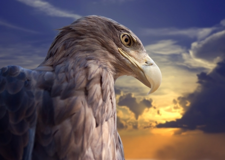 vigilant: Head of white-tailed eagle against sunset sky