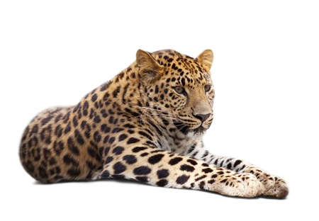 leopard: lying leopard over white background