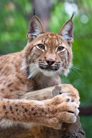 bobcat: Lynx yac�a en el fondo de la naturaleza salvaje