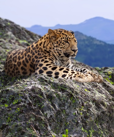 leopard  on stones at wildness area Stock Photo - 10929757