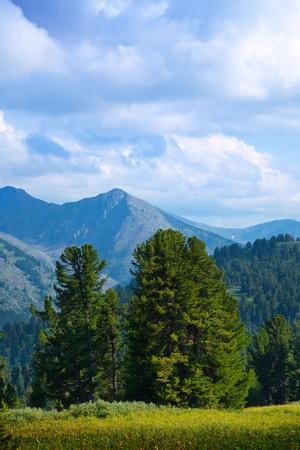 cedar tree: Landscape with forest mountains. Altai, Siberia