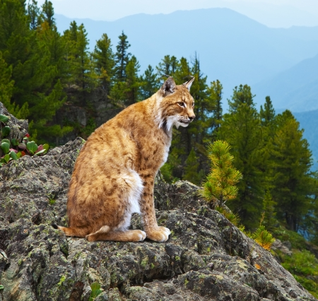 lynx  sits against wildness area photo