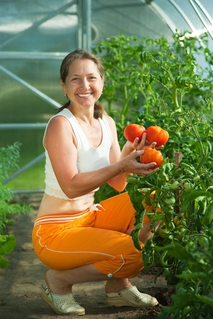 forcing bed: Senior woman is picking tomato in the hothouse