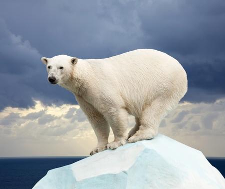 oso: oso polar en la zona agreste paisaje del mar contra la