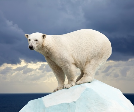 polar climate: polar bear in wildness area against sea landscape