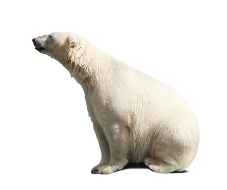 polar bear over white background with shadows photo