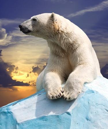 oso: oso polar en la zona salvaje contra la puesta de sol Foto de archivo