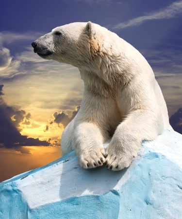 polar bear in wildness area against sunset Stock Photo