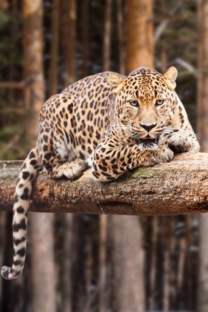 leopard on wood against pine forest photo
