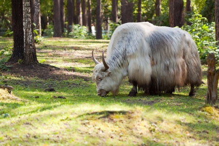 grunting ox against nature background photo
