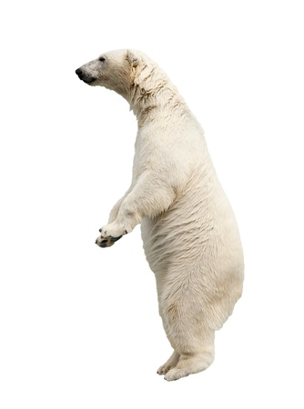 Standing polar bear. Isolated over white background photo